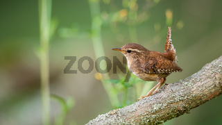 Eurasian wren sitting on tree in summertime nature