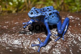 Blauer Pfeilgiftfrosch, Surinam