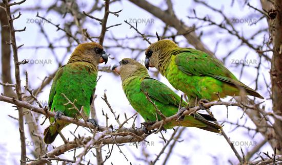 Braunkopfpapageien, Kruger NP, Südafrika