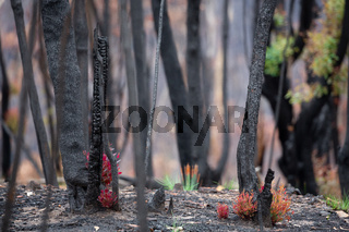 Trees and plants start to recover after bush fires in Australia
