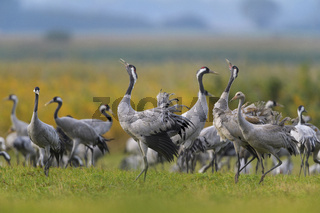European Crane