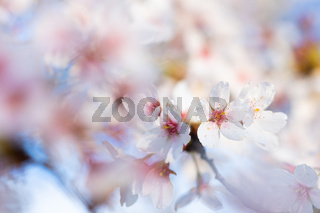 Close-up of a pink blossom in spring blue sky