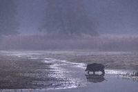 Wildschwein durchquert ein Gewässer