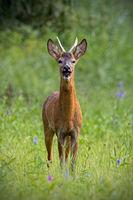 Roe deer buck barking on meadow in summertime nature.