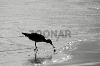 Strandläufer im Gegenlicht