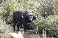 adult male African buffalo who stands in a small river in the savannah