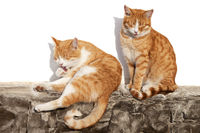 Two red-headed sleepy cats bask in sun on stone fence