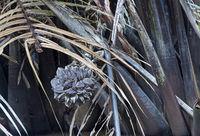 Fruchtstand der Nipappalme (Nypa fruticans)