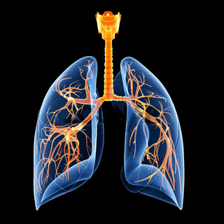 medical illustration showing the bronchi inside of the lung