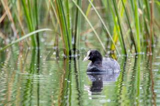 Bird Eurasian coot Fulica atra hiding in reeds