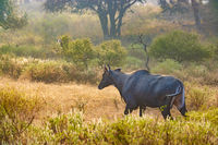 Nilgai or blue bull is the largest Asian antelope and is endemic to the Indian subcontinent.