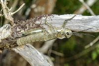 Riesige etwa 10 cm lange Heuschrecke auf der Insel La Gomera