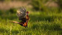 Longing common pheasant male lekking in spring courting season