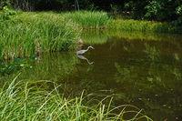 Graureiher, Ardea cinerea, grey heron, an einem Teich im Schönbuch Baden Württemberg, Deuschland