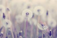 spring flower dandelion
