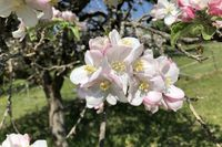 Blüten am Apfelbaum, Ontario