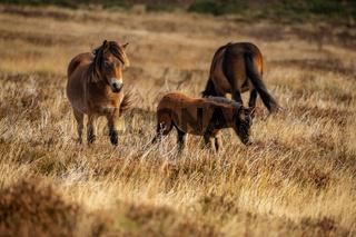 Wild Exmoor Ponies, Somerset, England