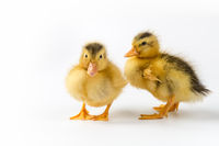 two ducklings closeup isolated