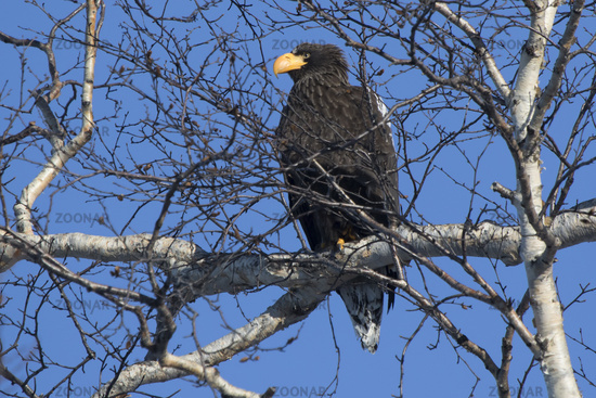 Stellers sea eagle sitting in the crown of birch on a winter day