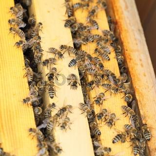 viele Bienen im Bienenkasten