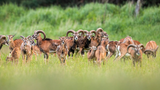 Group of mouflons standing on meadow in the summer.