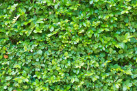 Green plant foliage texture as background or concept