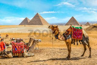 Camel family in Giza