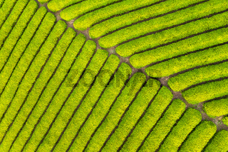 tea farm closeup