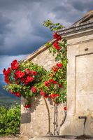 Climbing roses at old house in the Provence