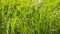 Grünes hohes Gras als Natur Hintergrund Textur