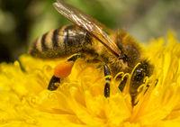 Biene sammelt Nektar auf einer Löwenzahn-Blüte