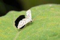 China-mark Moth, Elophila nymphaeata, Pune, Maharashtra, India