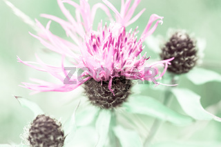 Amazing sunrise at summer meadow with pink milk thistle wildflower. Abstract floral background in vintage style, watercolor painting effect and blur