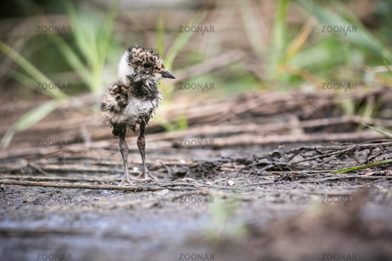 lapwing chick hiding in the grass