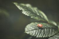 Ein roter Marienkäfer auf einem grünen Blatt