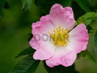 Hecken-Rose