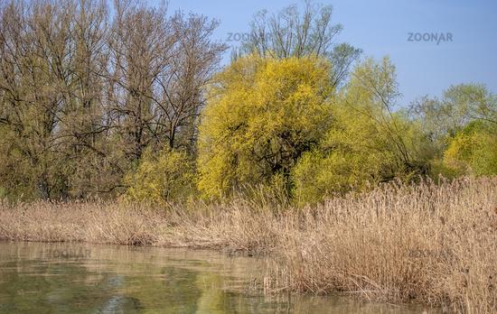 Schilf-Uferzone am Bodensee