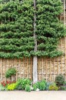 Spalierobstbaum im Schloss Weilburg