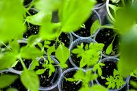 Home sprouts background. Seedlings green leaves and stems in plastic cups. Sprouted Grow.