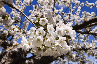 Cherry-tree flowers.