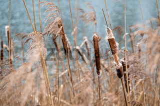 on a shore of a lake there are many burst bulrushes which are also called pompesel