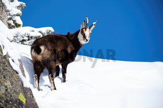 Cute smiling tatra chamois with fluffy coat going up the snowy hill
