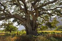 Weit ausladende Äste der Maulbeerfeige (Ficus sycomorus)