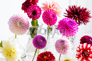 The delicate and colorful dahlia flowers during flowering