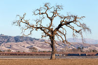 Gnarled Tall Lone Tree on the Western Plain