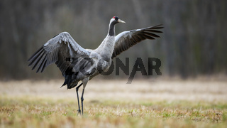 Wild common crane stretching wings and walking on hay field in autumn nature