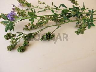 Luzerne mit Blüten und Samen in eingerollten Hülsenfrüchten