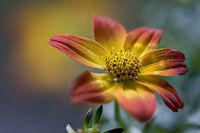Korbblütler der Gattung Bidens, Zweizahnhybride; Sommerblüher