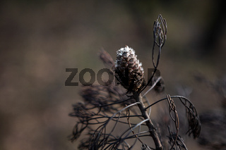 Seed pod opening after bush fires in Australia