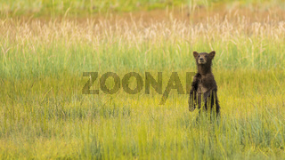 Grizzly Bear Cub Stands to See where Mom went after getting Seperated